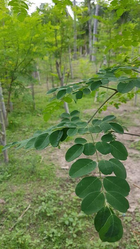 Gros plan sur des feuilles de moringa sur leur arbuste au milieu de la plantation