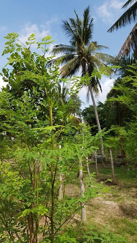 Photo de plants de moringa bio de la ferme sur fond de palmiers