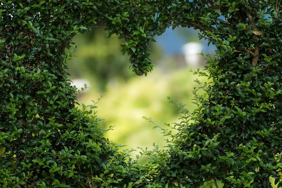 Buisson d'arbustes qui forment un coeur pour illustrer les effets protecteurs du moringa oleifera