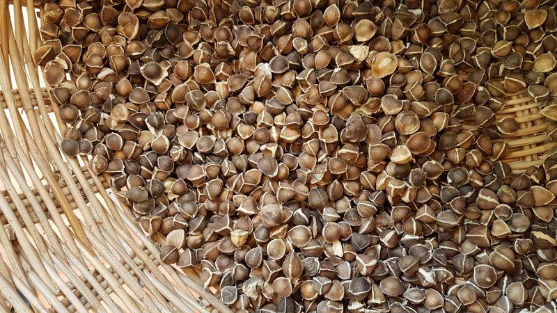 Panier de graines de moringa avec leur coque avant le décortiquage