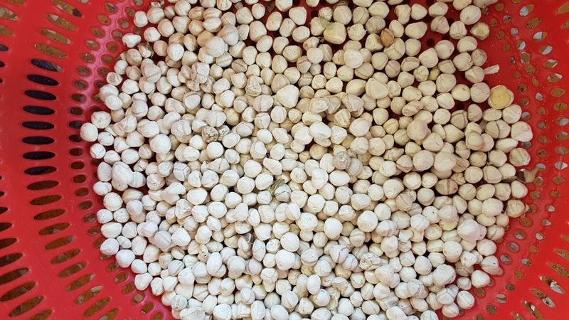 Zoom sur les graines de moringa décortiquées pendant le tamisage