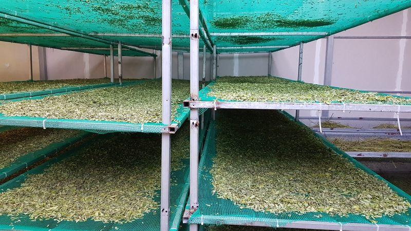 Installation de séchage des feuilles de moringa à basse température pour conserver ses nutriments
