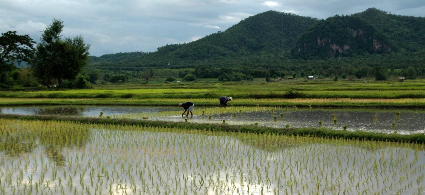 Photo d'une rizière illustrant le risque de la surconsommation d'arsenic dans le riz
