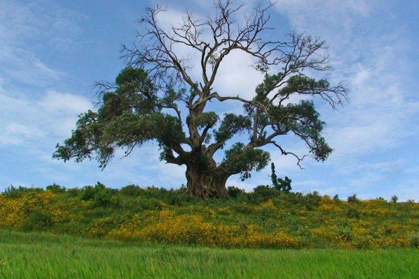 Photo d'un arbre immense devant un champs de teff en éthiopie