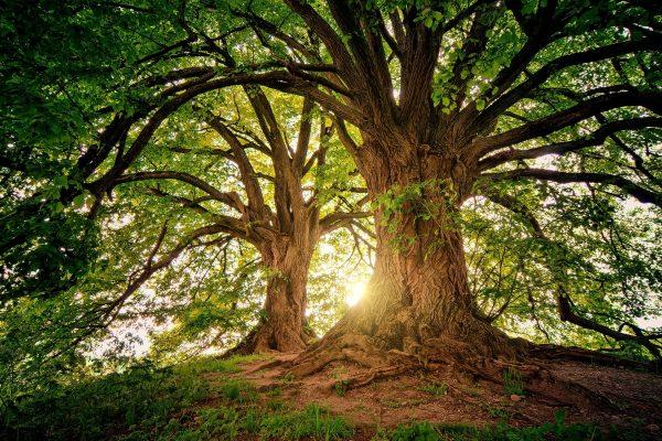 Comment utiliser le moringa, l'arbre aux mille vertus ?