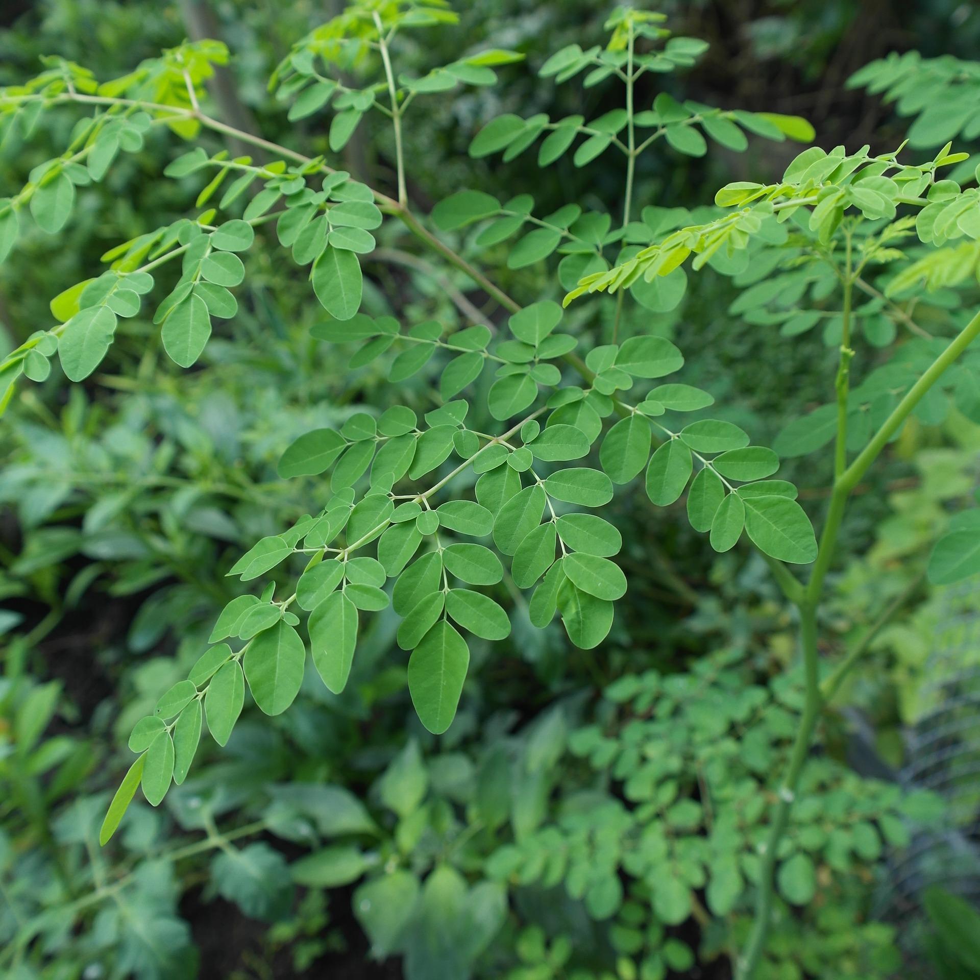 Comment utiliser le moringa ? Petites feuilles de moringa