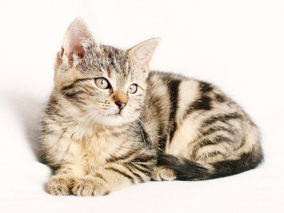 Spiruline pour les chats