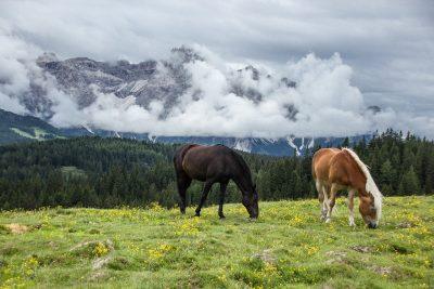 La spiruline pour les chevaux