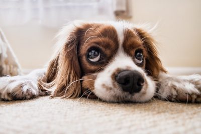 La spiruline pour les chiens et les chiots